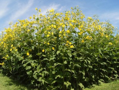 """Nachhaltige Erzeugung von Biogas - """"Durchwachsene Silphie"""""""
